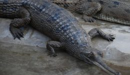Gharials on the East Rapti River
